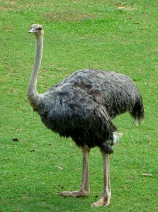 Avestruz-peludo
