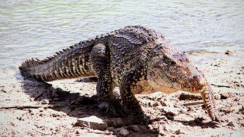 foto cocodrilo cubano